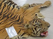 虎 毛皮 (国際希少野生動植物種登録表付