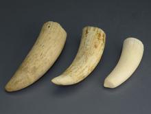 鯨歯 印材
