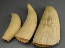 マッコウクジラ 鯨歯